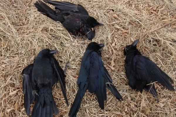 Жители Кагальника Азовского района зафиксировали массовую гибель птиц