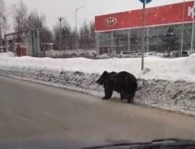По улицам Нижневартовска разгуливал медведь, пугая людей