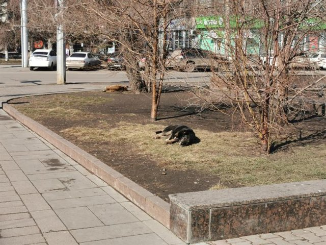 740 уличных собак отловили и стерилизовали в Красноярске с начала года