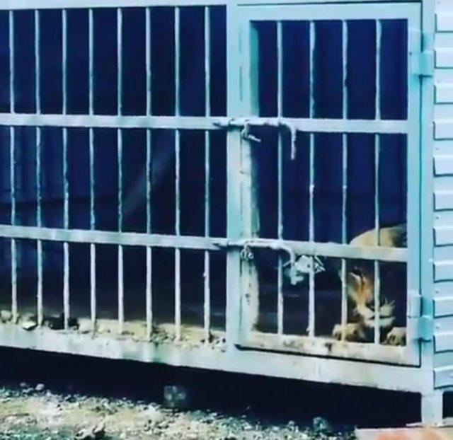 В с. Самарское Азовского района на неохраняемой территории в клетку заперли львицу