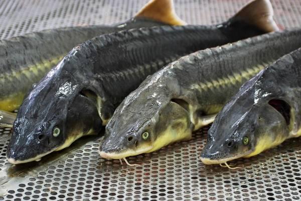 Азовский рыбзавод не смог продать более 2 тонн осетровых