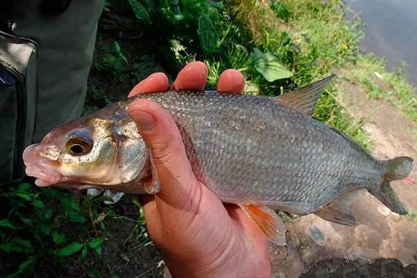 В Азове и Азовском районе запретили ловить рыбца