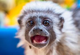 Показали обезьян с «королевской прической» в Красноярском «Роевом ручье»