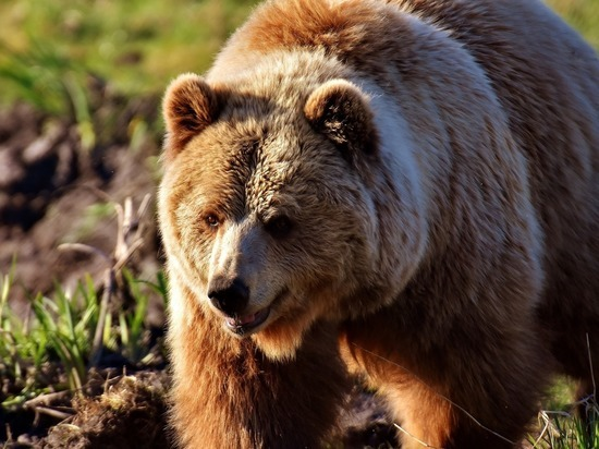 Вышел медведь к больнице в селе Сахапта Красноярского края