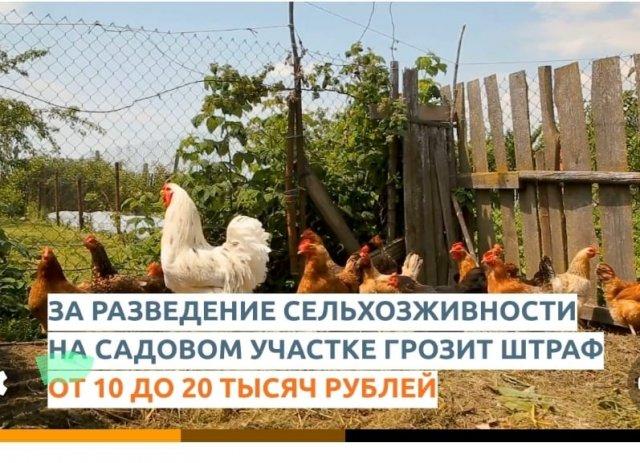Верховный суд России вынес принципиально важное решение: нельзя держать мелкую сельхозживность, в том числе - кур, на землях для садоводства.