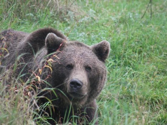 Медведя заметили местные жители в черте Красноярска
